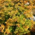 Autumn Leaves-1